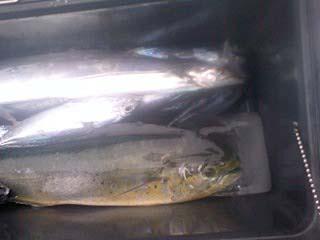 080915シイラ&太刀魚1