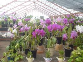 大富農園自慢の蘭の数々01