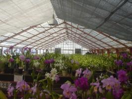 大富農園自慢の蘭の数々02