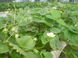 イチゴも栽培中